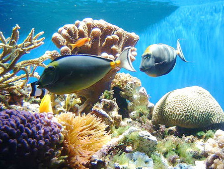 anthropogenic effects on coral reefs On a global scale, concerns of catastrophic loss from anthropogenic impact to coral reefs may be valid in many areas of the world, but they do not accurately depict the condition of coral reefs in hawai'i.